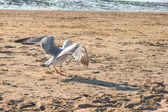 A seagull walking on the beach in the Netherland, North Sea — Stock Photo