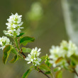 Choke Cherry Blossom — Stock Photo