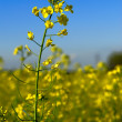 Stock Photo: CanolFlower in Field