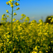 Summer Canola Rapeseed Crop - Stock Photo