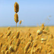 Commercial Canary Seed Crop — Stock Photo