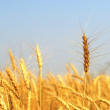 Mature Winter Wheat — Stock Photo
