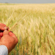 Durum Wheat in Farmer — Stock Photo