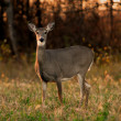 White Tail Deer Autumn — Stock Photo