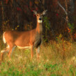 White Tailed Deer at Forest Edge — Stock Photo