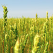 Spring Wheat Crop — Stock Photo