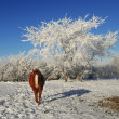 Winter Horse — Stock Photo