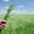 Winter Wheat in Hand of Farmer — Stock Photo #12368813