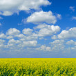 Canola Field Sky - Stock Photo