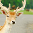 Curious Feral Deer — Stock Photo