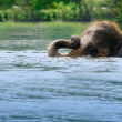 Stock Photo: Elephant Swimming