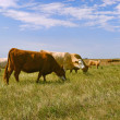 Cattle in Field — Stock Photo