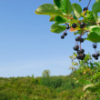 Prairie Chokecherry — Stock Photo