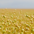 Ripe Commercial Flax Crop — Stock Photo