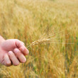 Durum Wheat — Stock Photo