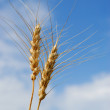 Stock Photo: Spring Wheat