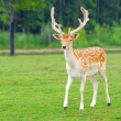 Feral Deer — Stock Photo