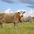Cattle on Prairie — Stock Photo