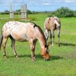 Apaloosa Horses Grazing in Pasture — Stock Photo