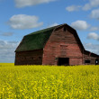 Red Barn In Canola Field — Stock Photo