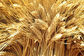 Closeup of golden wheat — Stok fotoğraf