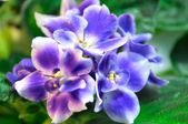White and blue african violet — Stok fotoğraf