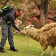 Stock Photo: Mfeeds Lama, Peru