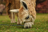 Furry lama with long eyelashes on a fresh green summer grass. Close up portrait. — Foto de Stock