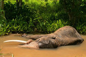 Elephant in the river — Stock Photo