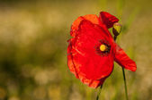 Red papaver, poppy - symbol of fallen soldiers — Stock Photo