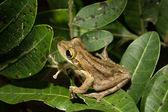 Frog Hyla squirella on a leaf — Stock Photo