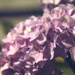 Hydrangea - Stock Photo