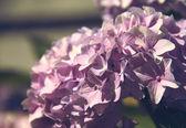 Hydrangea — Foto de Stock