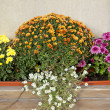 Blooming of chrysanthemum - Stock Photo