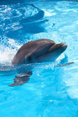 Dolphin in the pool — Stock Photo