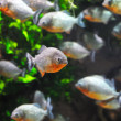 Piranhfish — Stock Photo #13731551