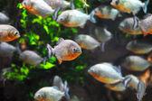Piranha fish — Stock Photo