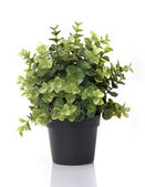 Home plant in pot — 图库照片