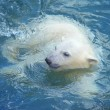 Little white polar bear swimming in the water — Stock Photo #29787689