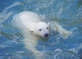 Little white polar bear swimming in the water — Stock Photo