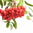 Bunch of red rowan — Foto de Stock