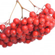 Bunch of red rowan — Stock Photo