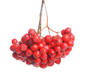 Bunch of red rowan isolated — Stock Photo