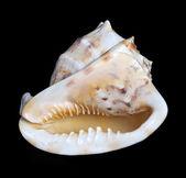 Seashell on black background — Stock Photo
