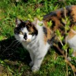 Calico cat - Stock Photo