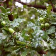 Green acorns — Stock Photo