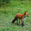 Stock Photo: Little fox