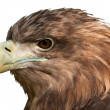 Eagle Head Close-Up — Stock Photo #12745253