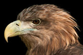 Eagle Head Profile — Stock Photo