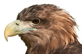 Eagle Head Close-Up — Stock Photo